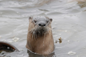 Semi-aquatic river otters contribute to and benefit from the Amazon Creeks' flow as it moves from the Headwaters down through the West Eugene Wetlands, into Fern Ridge Lake, and the Long Tom Watershed.