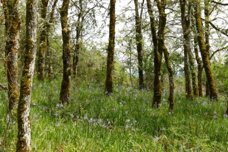 "Here's a scenic oak woodland area. Unfortunately, the camas understory may be on the way out as a new invader, Shining Geranium, takes over. Basically, it is ""erasing"" native biodiversity, and at present, there is little or nothing that can be done to stop it..."