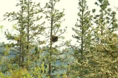 A Red-tailed Hawk found the right place to nest in a Ponderosa Pine!