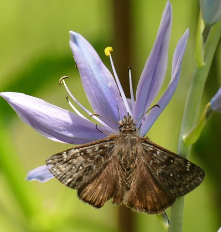 A Propertius Duskywing butterfly nectars on a camas flower. The Propertius Duskywing lays its eggs only on oaks, as Monarch Butterflies do on milkweeds.